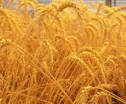 Продам муку пшеничную, масло подсолнечное крупным оптом на ЭКСПОРТ.