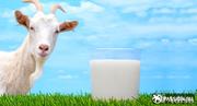 Козье молоко свежее цельное,  ежедневно ,  эчки сути